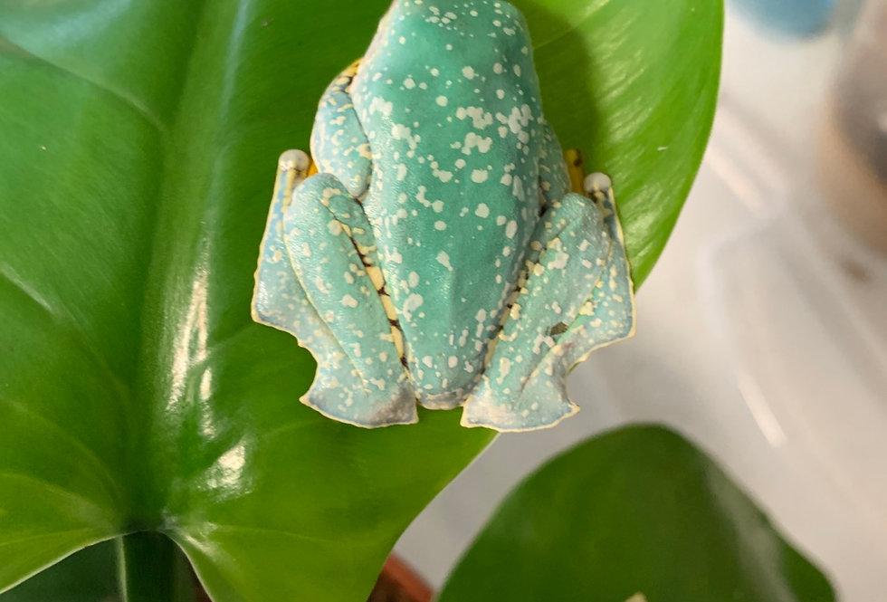 """Fringed Leaf Frog 2"""""""