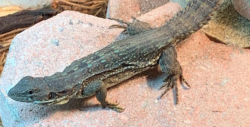 Club tail iguana