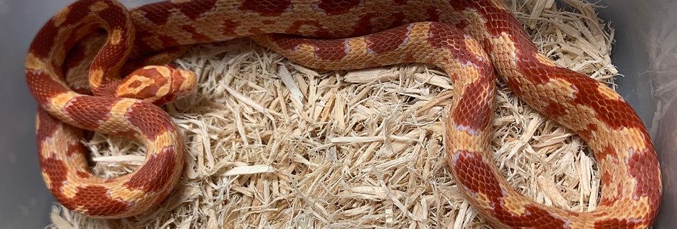 Partial Zigzag Albino Corn Snake 2019