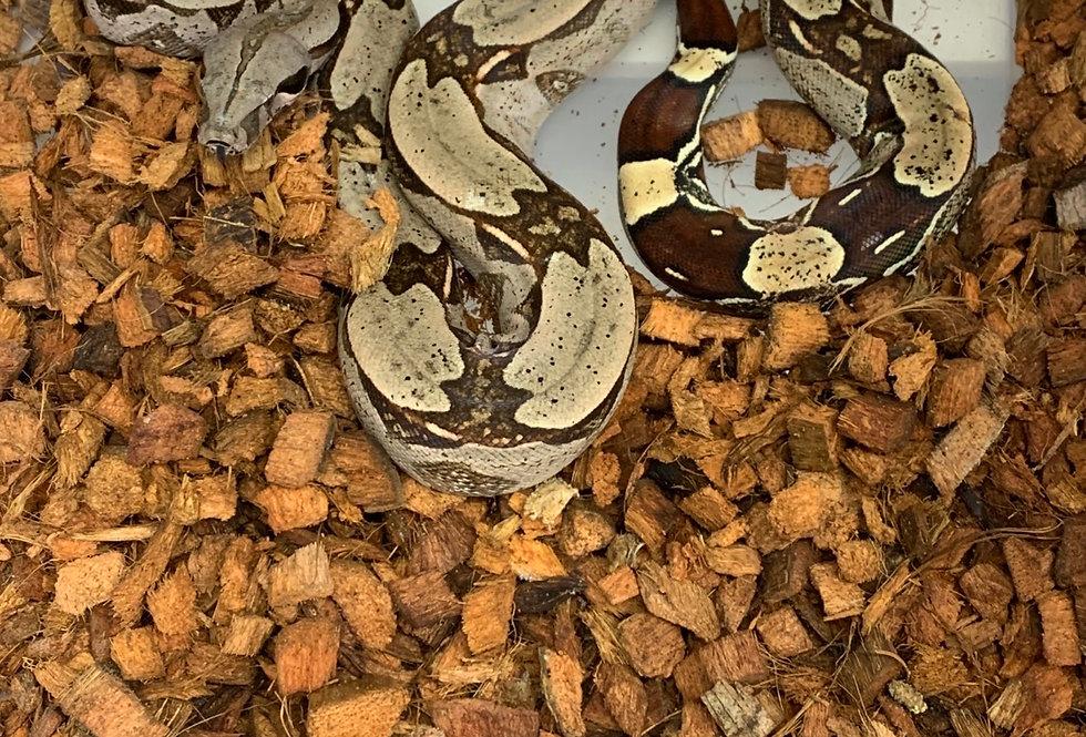 Guyana Redtail boa (#114GB)