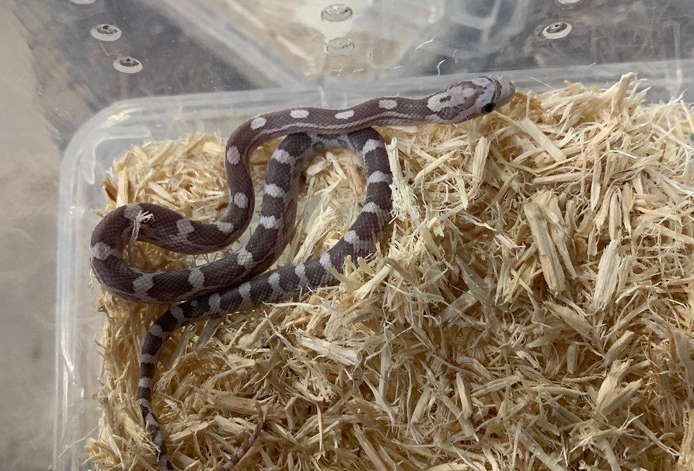 Ghost Sunkist Corn Snake