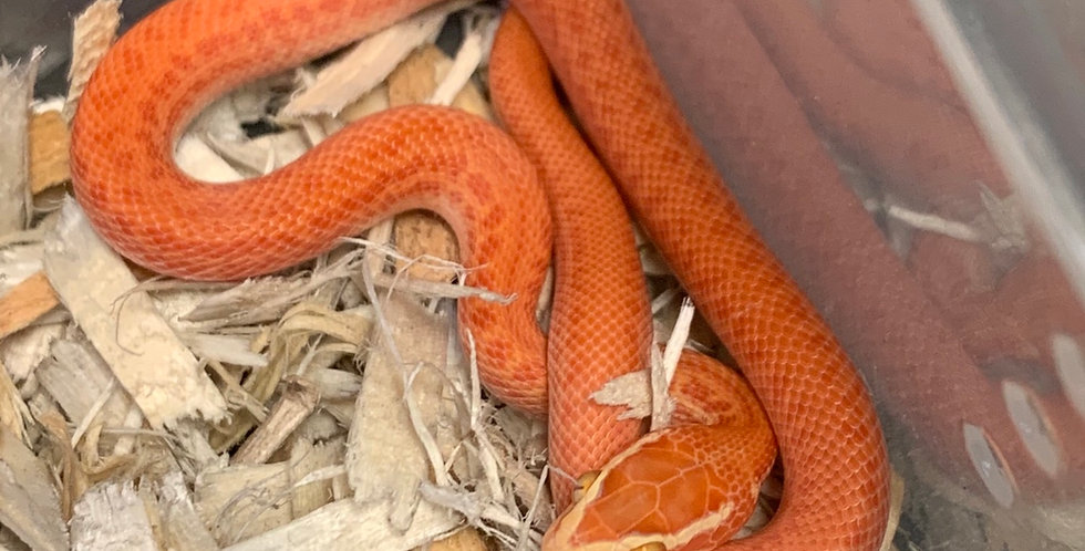 Albino house snake