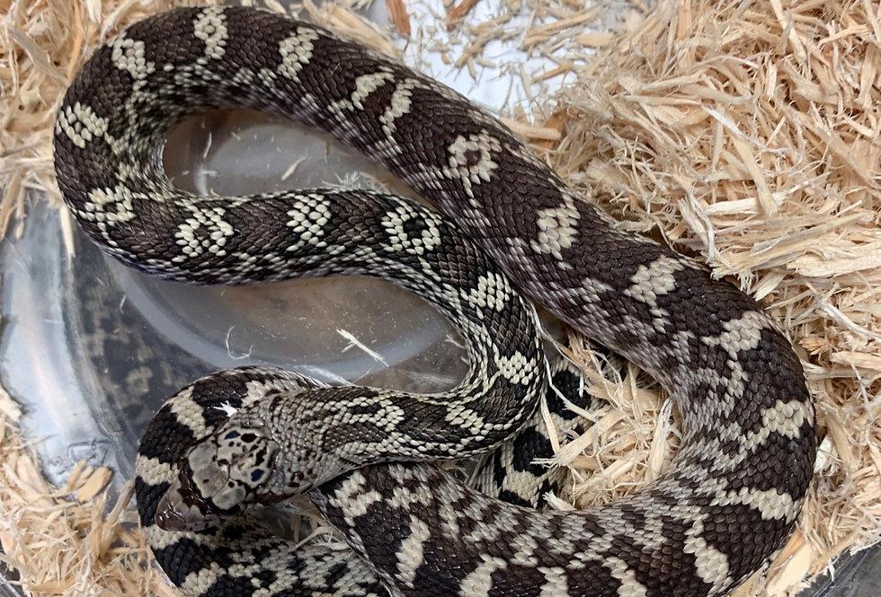 Axanthic bull snake het hyotrumbower w/s patternless