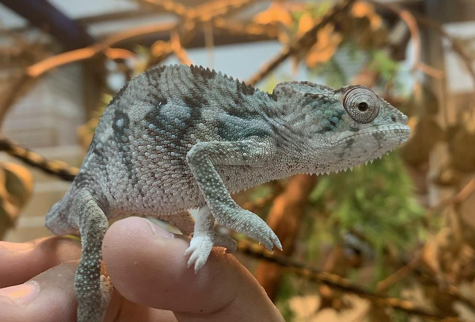panther chameleon  CBB