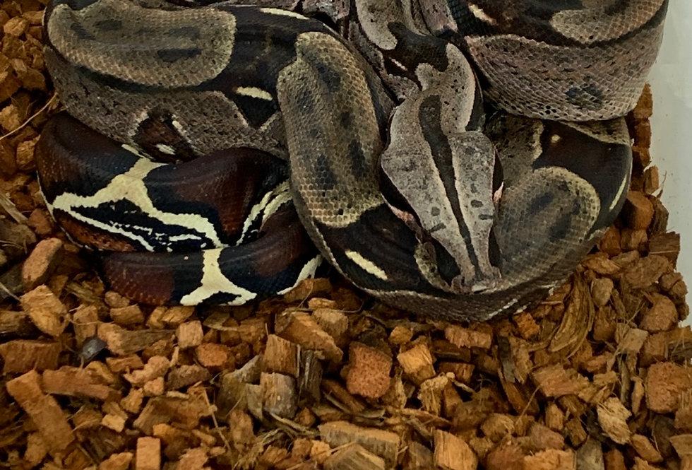 Guyana Redtail boa (#107GB)