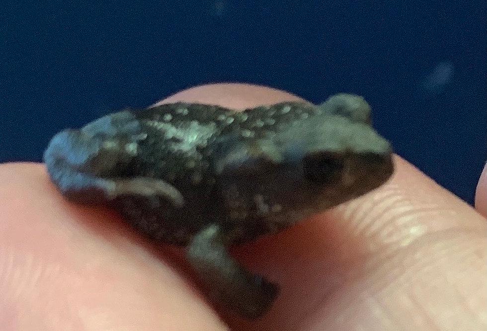 European Toad CB