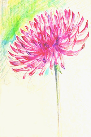 Flower Drawing in Coloured Pencil