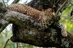 Bengal Leopard