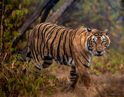 The look of the tiger