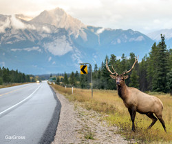 Hitchhiking Elk