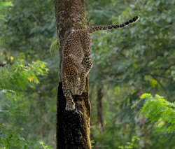 Leopard comes down from a tree