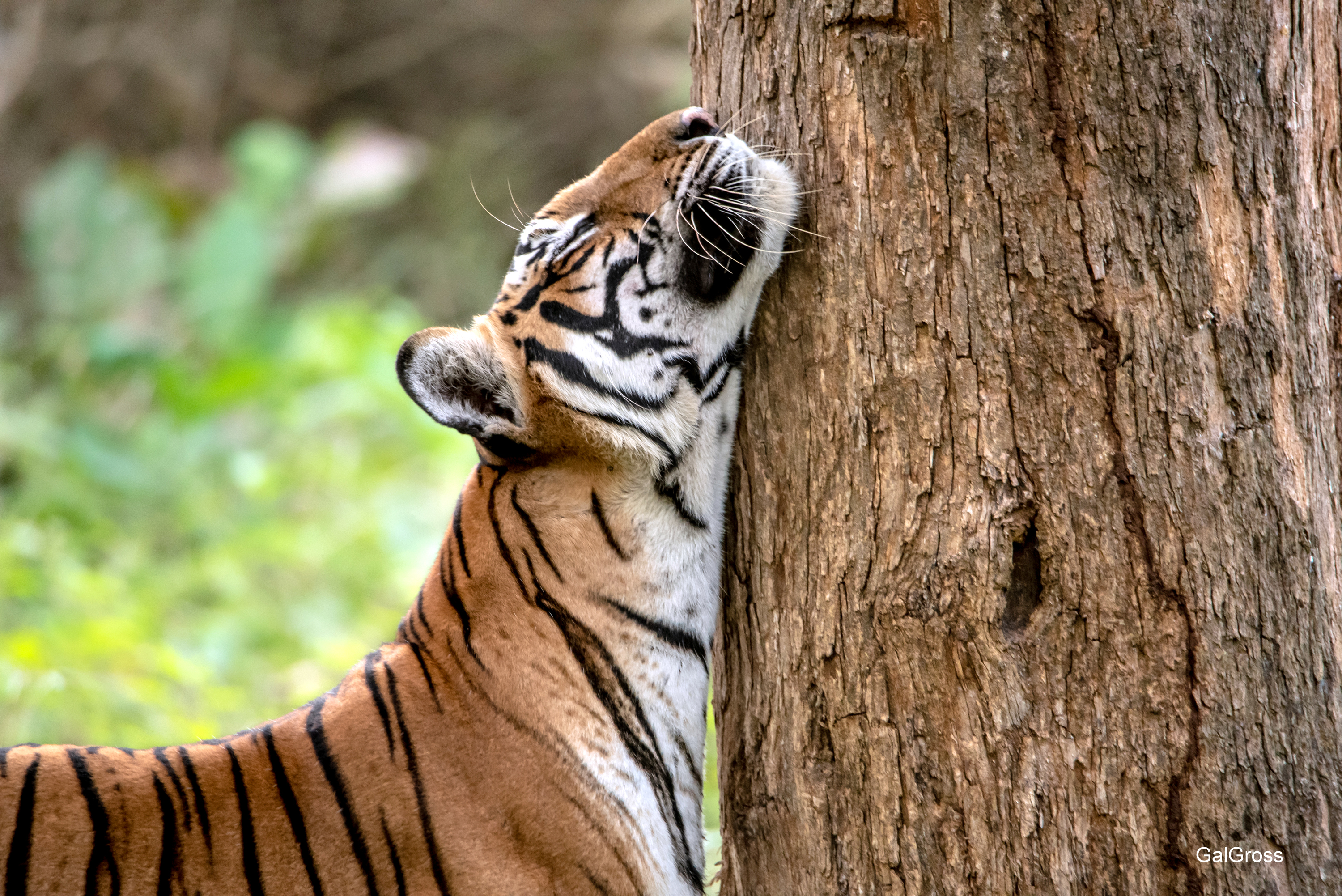 Tree hugger tiger