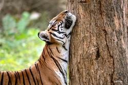 Tree hugger tiger