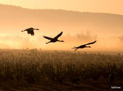 3 cranes at sunrise