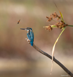 Kingfisher and dragonfly