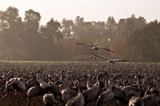 cranes in hula nature reserve, Israel