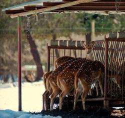 Surprised Bambi