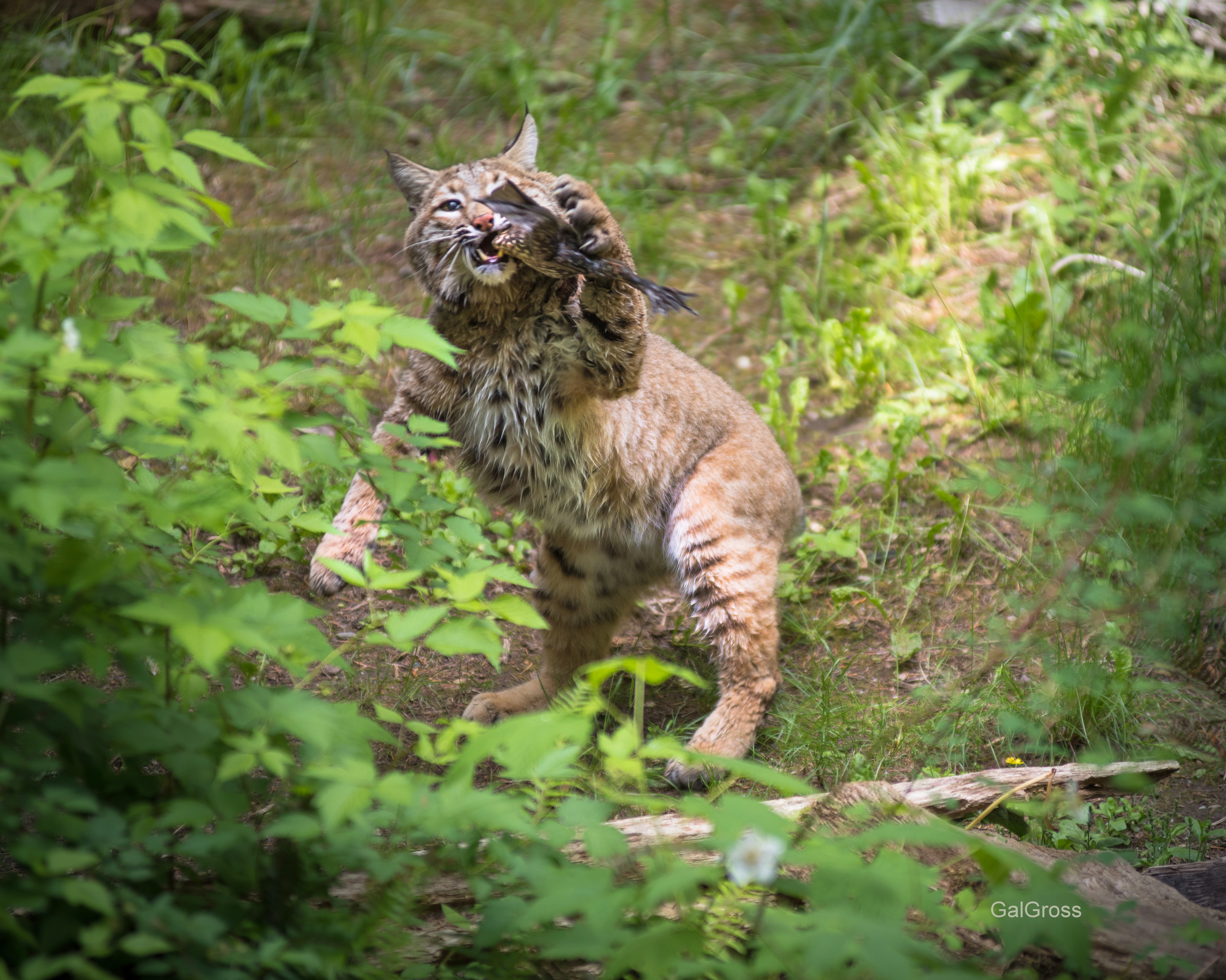 Bobcat palying with food