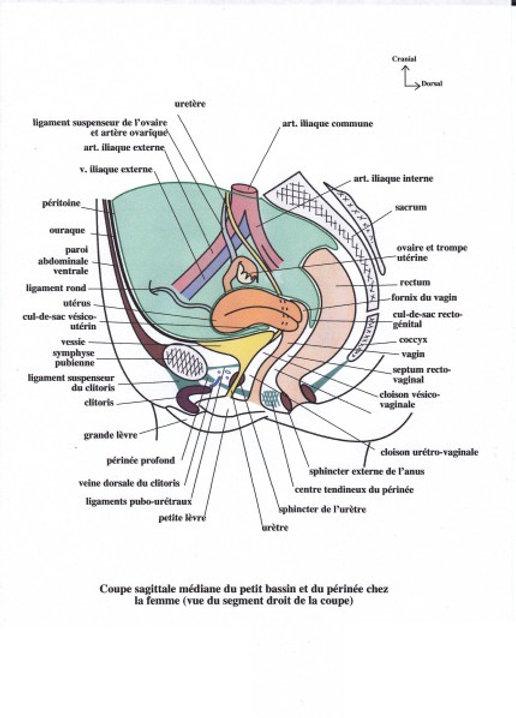 coupe sagittale bassin femme pour rééducation périnéale