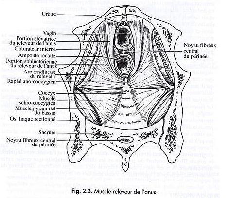 périnée coupe horizontale pour kiné périnée femme