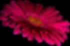 Gerbera-a27691054[1].png