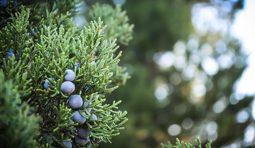 Juniper Plant