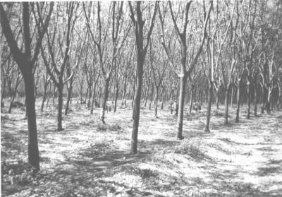 Defoliated rubber trees