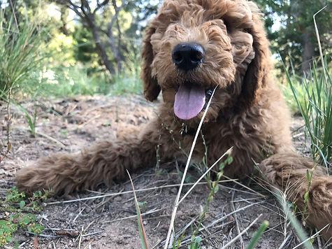 Claire, Female Standard Goldendoodle