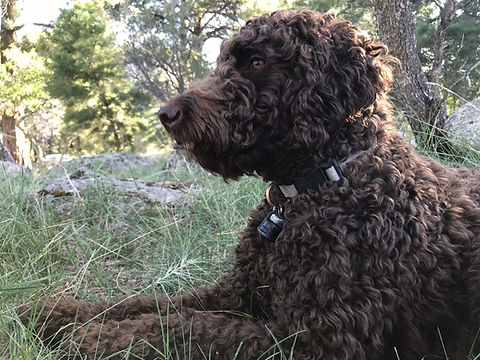 Marley, Standard Female Abstract Goldendoodle