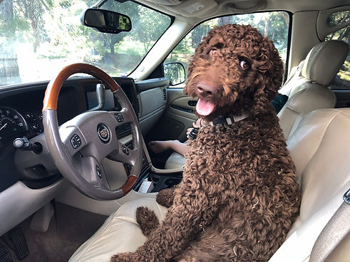 Marley, Female Standard Chocolate Goldendoodle driving a car