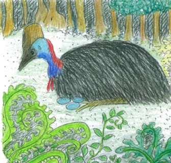 Male Cassowary on eggs.