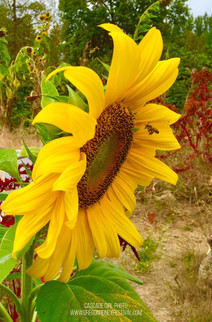 Sunflowers are an Important Source of Pollen