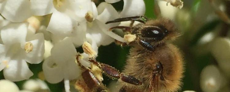 bee on white flowers.jpg