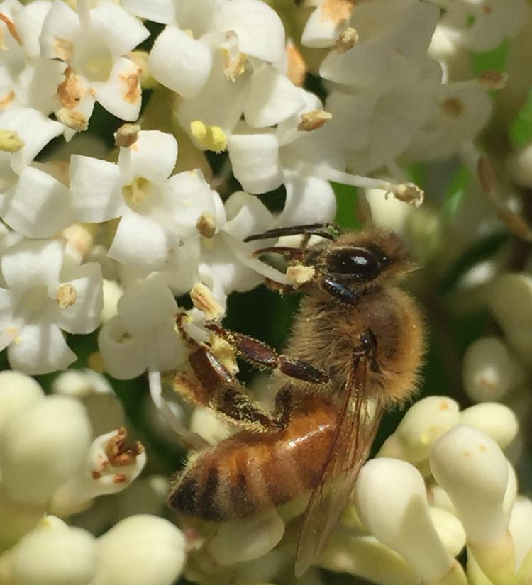 bee on white flowers.jpg