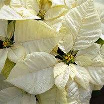 White Poinsettia .jpg