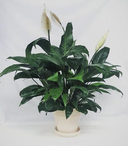 Spathiphyllum Decor Pot 1103-420