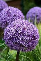 Allium Globe Master.jpg