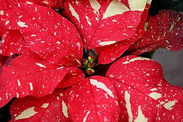 Red Glitter Poinsettia.jpg