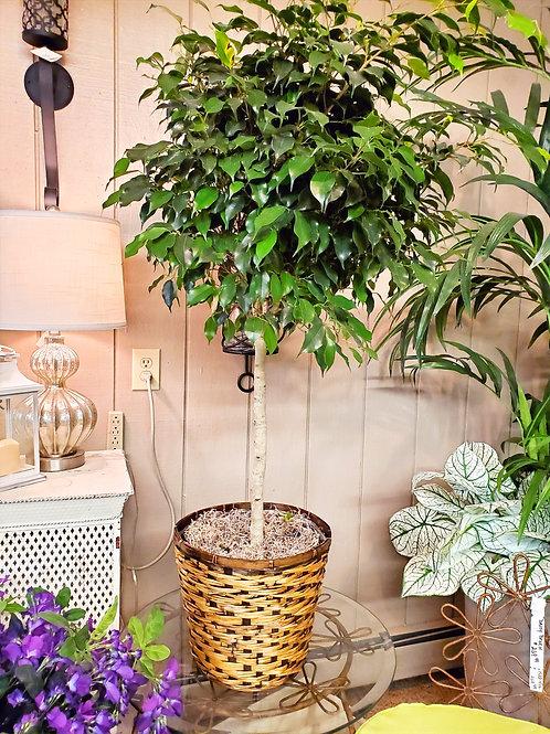 Ficus Benjamina Fig