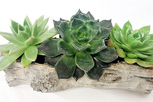 Echeveria Collection 1103-491