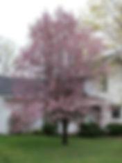 Prunus Newport_edited.jpg