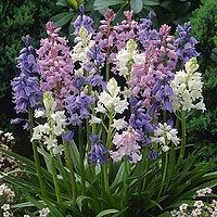 Blue Wood Hyacinths.jpg