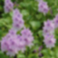 Water Hyacinth.jpg