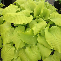 Dancing Queen Hosta of the year 2020.jpg