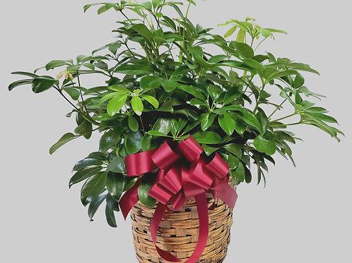 Schefflera in a Basket