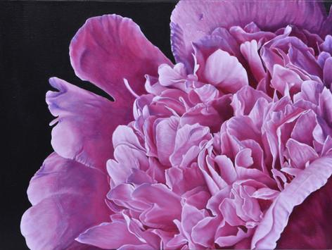 Closeup pink peony