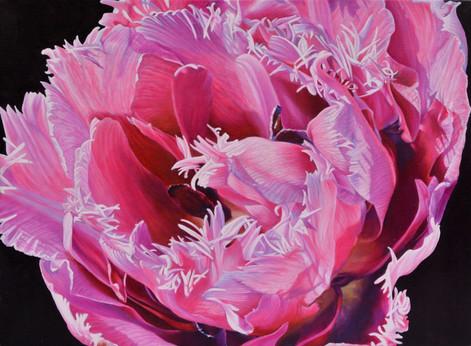 closeup pink tulip