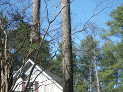 tree preservation woodruff sc