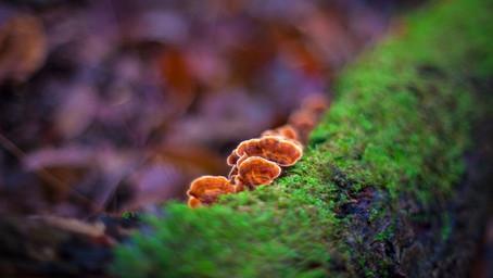 Are Reishi mushrooms useful?