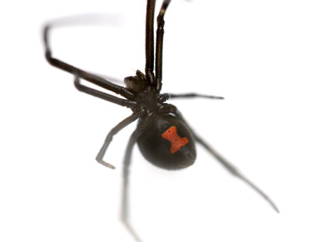 Spider Facts: the Black Widow
